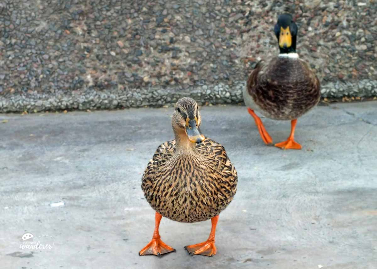 What to Feed Ducks (10 Alternatives to Bread)