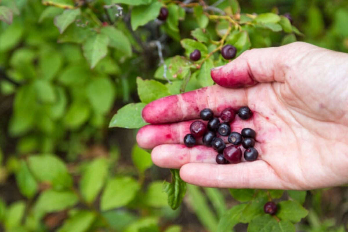 A handful of ripe huckleberries