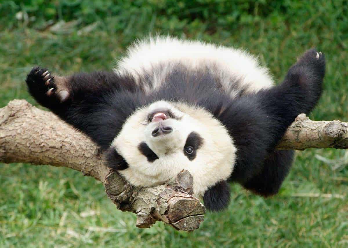 The National Zoo has giant pandas.