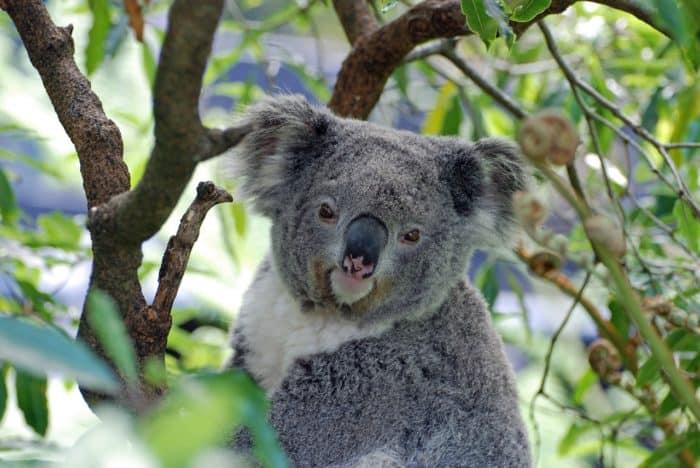 Watch koalas on live animal cams