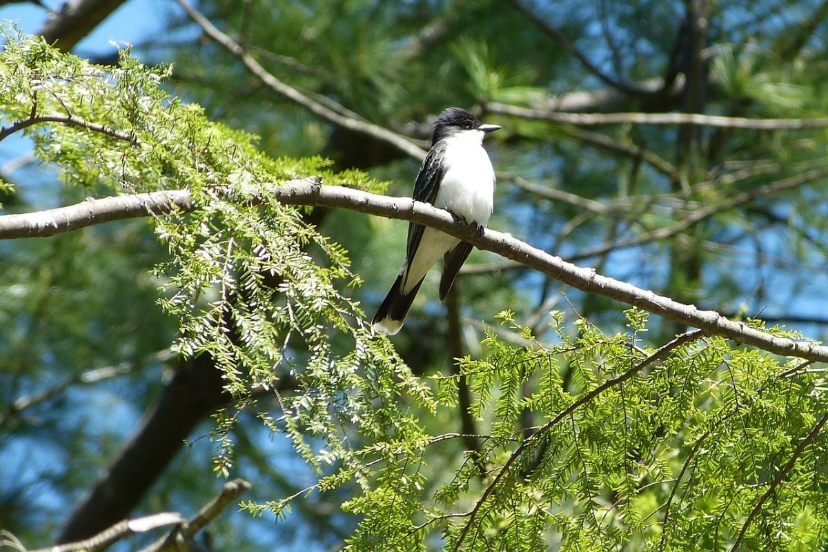 Eastern Kingbird sitting high in a tree