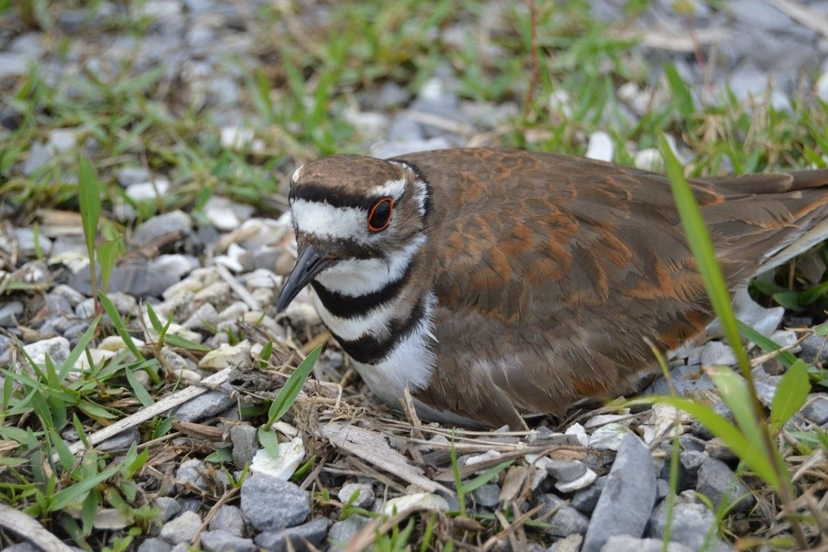 A killdeer bird nesting on rocks