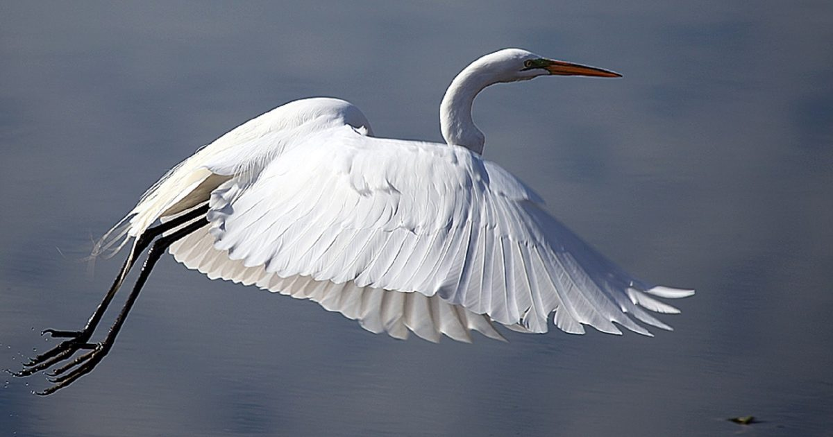 Great egrets can be found along the Alabama bird trail.