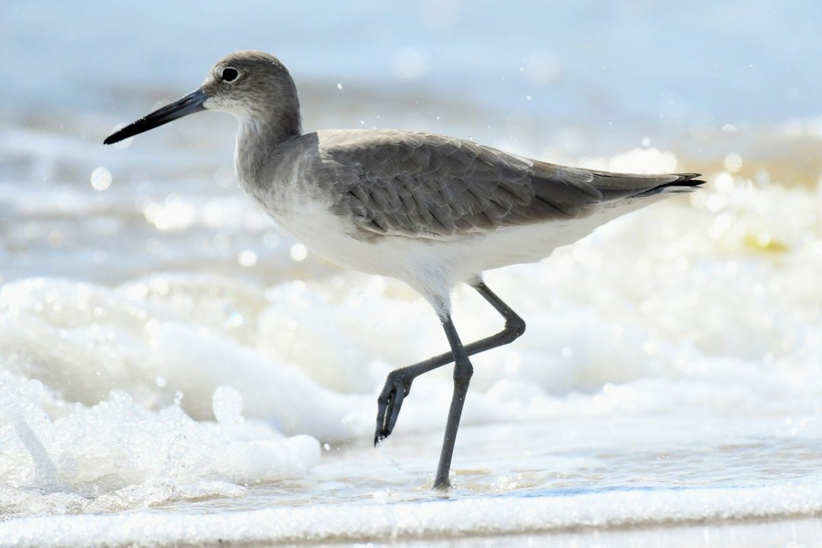 Willets are another type of sandpiper found along the Alabama bird trail.
