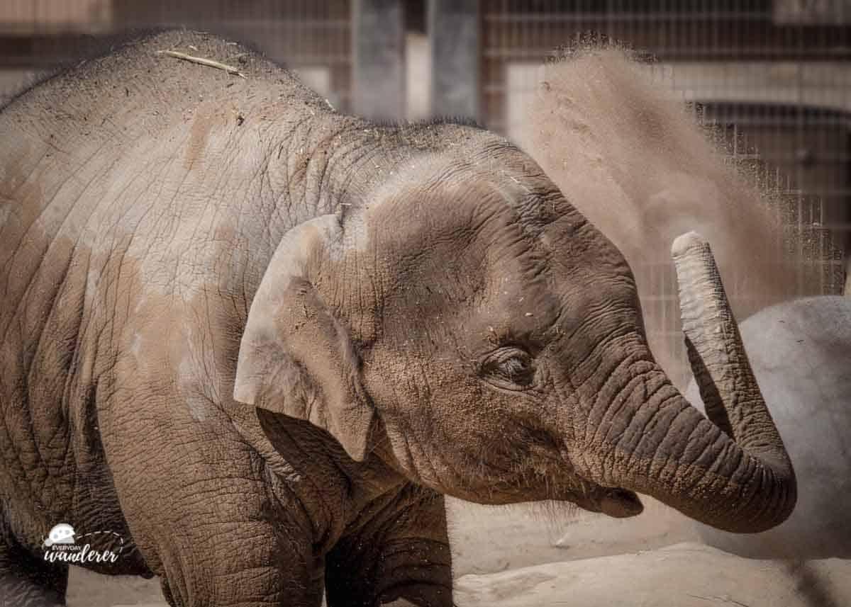 Jazmin is an Asian elephant at the Albuquerque BioPark Zoo