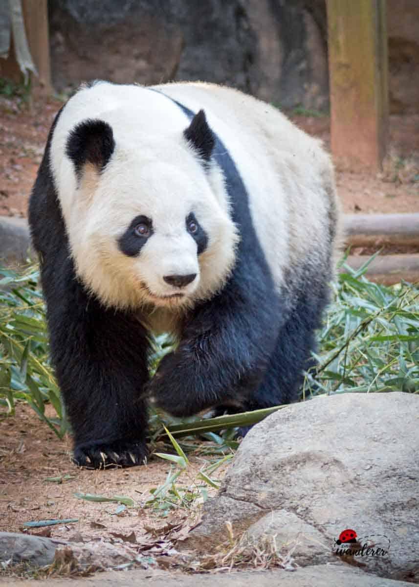 Giant Panda at Zoo Atlanta