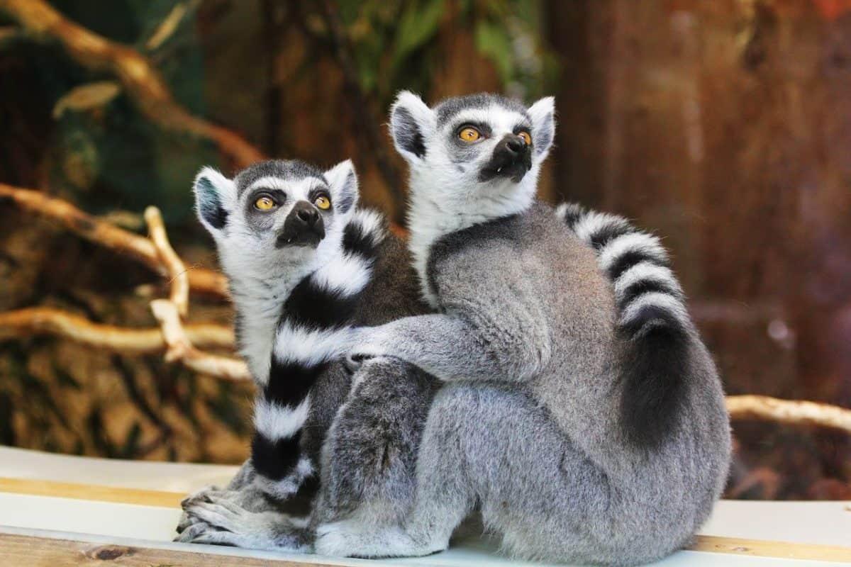 Watch lemurs on live animal cams