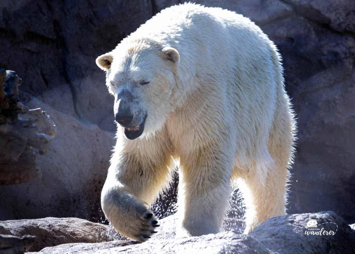 Watch polar bears on live animal cams
