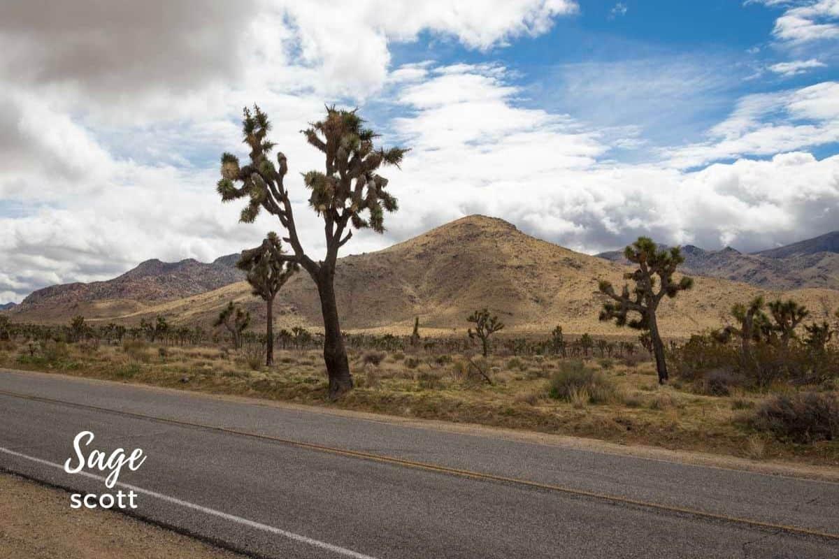 A road through Joshua Tree in California