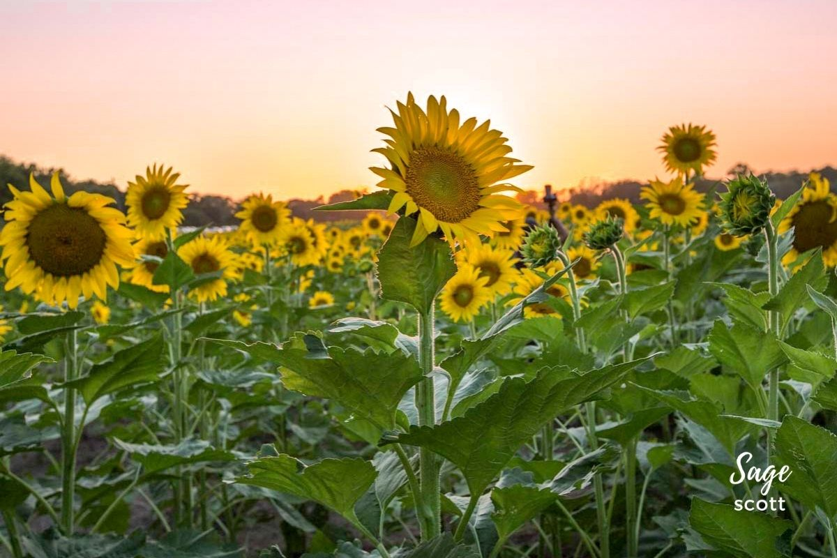 Grinter Farms Sunflower Fields in Lawrence KS at Sunset