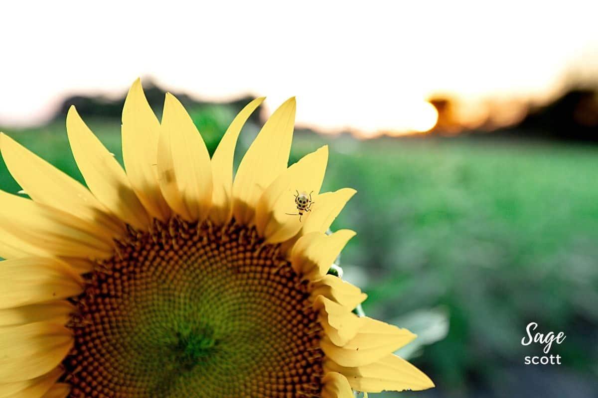 Yellow Ladybug on Sunflower