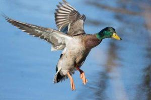 Feed Ducks Thumbnail
