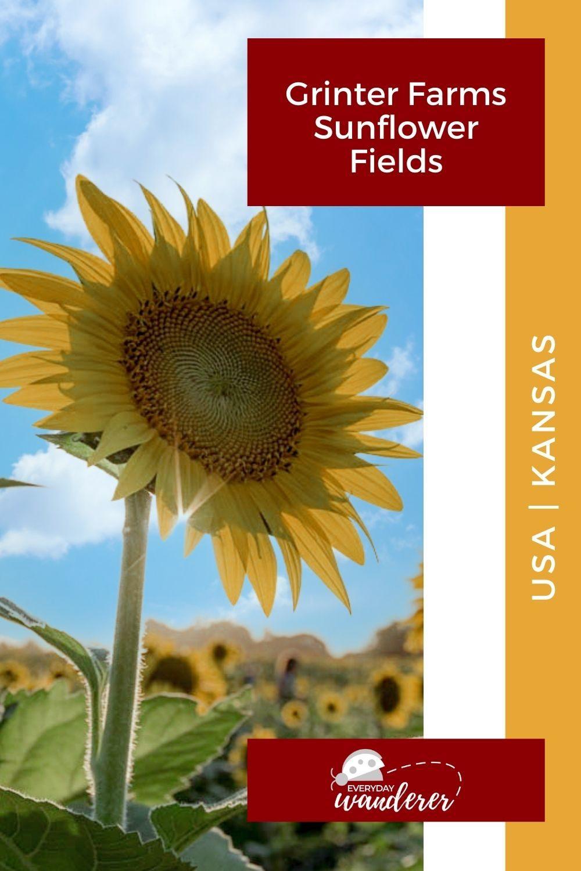 Grinter Farms Sunflower Fields - Pin 1 - JPG