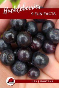 Huckleberries - Pin 1 - JPG